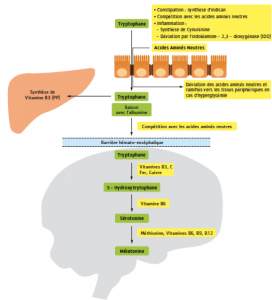 métabolisme serotonine