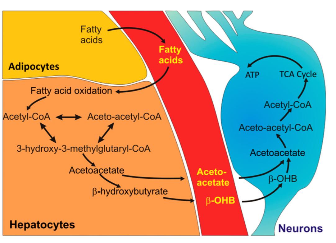 Figure 2: Métabolisation des acides gras pour la production d'énergie (Source: 82).