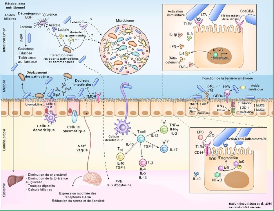 probiiotique cellule